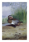 A Garganey by Archibald Thorburn