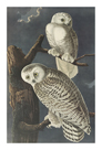 Snowy Owl by James Audubon