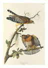 Red Shouldered Hawk by James Audubon