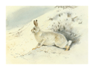 White Hare by Archibald Thorburn