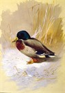 Mallard by Archibald Thorburn