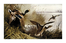 Wild Duck by Archibald Thorburn