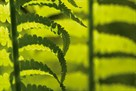 Forest Ferns by Staffan Widstrand