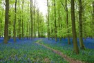 Bluebell Forest by Joseph Eta