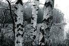 Birch Trees by Joseph Eta