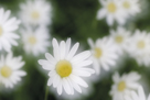 Daisy Symphony by Wild Wonders of Europe