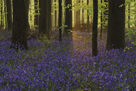 Bluebell Celebration by Wild Wonders of Europe