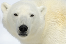 Polar Bear Portrait by Staffan Widstrand