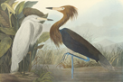 Purple Heron by James Audubon