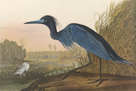 Blue Crane by James Audubon