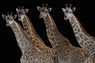 Giraffes in a Row - Noir by Staffan Widstrand