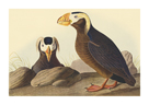 Tufted Auk by James Audubon
