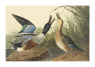 Shoveller Duck by James Audubon