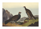 Long - Tailed or Dusky Grouse by James Audubon