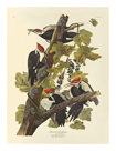 Pileated Woodpecker by James Audubon