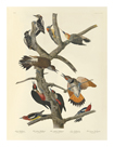 Woodpeckers by James Audubon