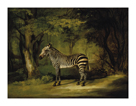A Zebra by George Stubbs