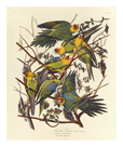 Carolina Parrot by James Audubon