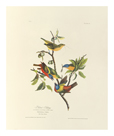 Painted Bunting by James Audubon