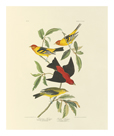 Louisiana and Scarlet Tanager by James Audubon
