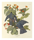 White Crowned Pigeon by James Audubon