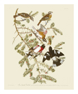 Rose-Brested Grosbeak by James Audubon