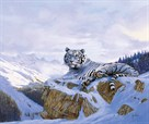 White Siberian Tiger by Spencer Hodge