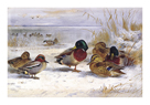 Ducks in Winter by Archibald Thorburn