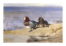 A Pair of Wigeon by Archibald Thorburn