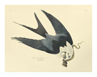 Swallow - Tailed Hawk by James Audubon