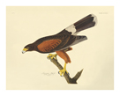 Louisiana Hawk by James Audubon