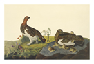 Willow Grouse or Large Ptarmigan by James Audubon