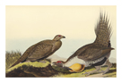 Cock of The Plains by James Audubon