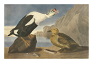 King Duck by James Audubon