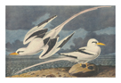 The White-Tailed Tropic Bird by James Audubon