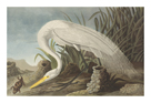White Heron by James Audubon