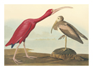 The Scarlet Ibis by James Audubon