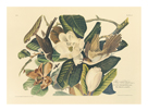 The Black Billed Cuckoo by James Audubon