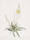 Anthericum Alooides by Pierre Joseph Redoute