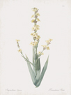 Sisyrinchium Striatum by Pierre Joseph Redoute