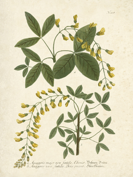 Botanica Anagyris Print by The Vintage Collection