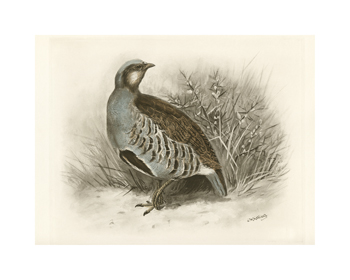 Common Partridge Fine Art Print by Lilian Medland