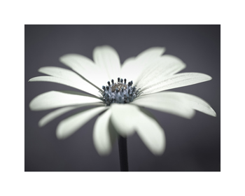 African Daisy in Focus Print by Assaf Frank