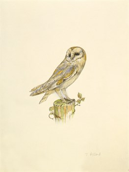Barn Owl by C.T.N. Ackland Standard