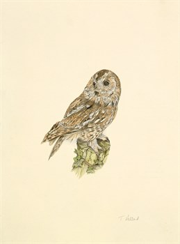 Tawny Owl Fine Art Print by C.T.N. Ackland