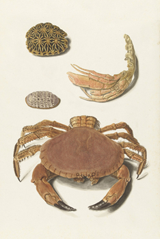 A Crab and Two Turtle Shells Print by The Vintage Collection