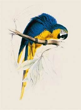 Blue and Yellow Maccaw Fine Art Print by Edward Lear