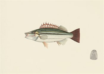 Fish Study in Green and Brown Fine Art Print by Oriental School