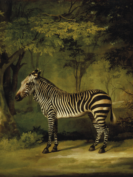 A Zebra - Focus Print by George Stubbs