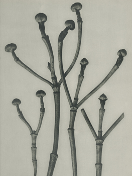 Cornus florida Canvas Print by Karl Blossfeldt